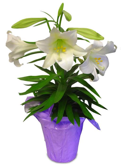 potted easter lilies clipart 1 st john s san juan lutheran church rh sjsjaustin net easter lily clipart black and white easter lilies clipart free